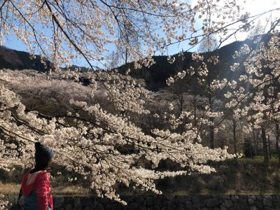 神河町の桜、満開です。